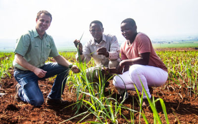 Pongola seedcane to boost small-scale yields