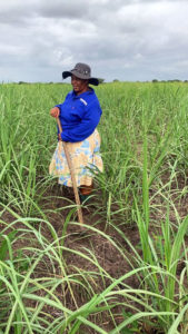 Dipuo Ntuli, Vice Chairman SA Canegrowers, works in her sugarcane fields on her farm in the district of uMfolozi. She says she is now committed to supporting small-scale growers, most of whom are women.