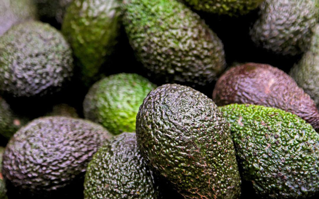 avocado-farming-south-africa